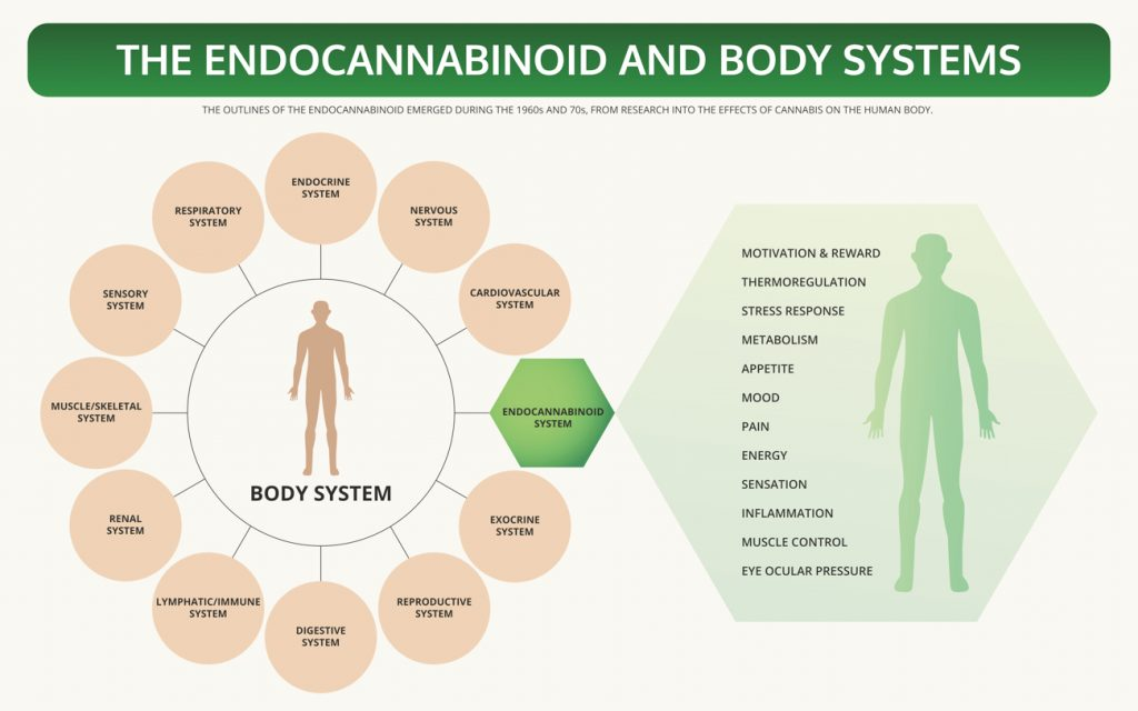 Endocannabinoid system | CBD and diabetes | Singys premium CBD